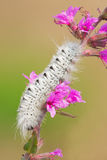 Hickory Tussock Moth Stock Image