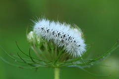 Hickory Tussock Moth caterpillar Royalty Free Stock Photo