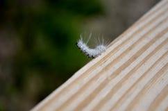 Hickory Tussock Moth caterpillar Stock Photography