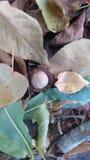 hickorynoot in bladeren royalty-vrije stock foto's
