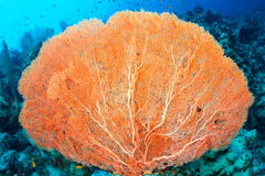 Hickson's fan coral. (Subergorgia hicksoni Kashman) in the Red Sea, Egypt Royalty Free Stock Image