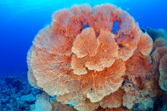 Hickson's fan coral Royalty Free Stock Image