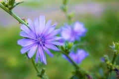 Сhicory blomma arkivbild