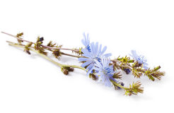 Сhicory. Blue flowers of chicory isolated on a white background. Cichorium intybus Stock Photography