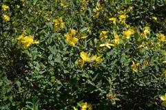 Hidcote do Hypericum - arbusto sempre-verde pequeno fotos de stock