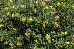 Hidcote do Hypericum - arbusto sempre-verde pequeno foto de stock