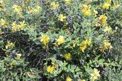 Hidcote do Hypericum - arbusto sempre-verde pequeno fotografia de stock royalty free