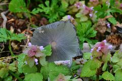 Hidden beauty. An inky cap mushroom finds it`s way into a garden along with some purple deadnettle Stock Image