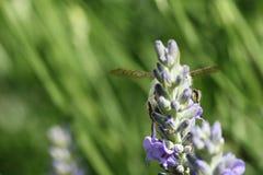 Hidden bee. Bee hovering above a flower in the garden stock images