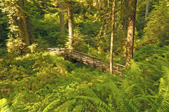 Hidden Bridge in the Redwoods Stock Images