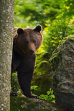 Hidden brown bear in the forest. Portrait of brown bear, sitting on the grey stone, pink flowers at the background, animal in the Royalty Free Stock Images