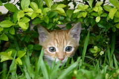 Hidden Cat. In the grass Royalty Free Stock Image