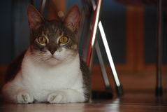 Hidden Cat. Fat Cat under the table, with opened big eyes Royalty Free Stock Photo