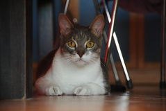 Hidden Cat. Fat Cat under the table, with opened big eyes Royalty Free Stock Photos