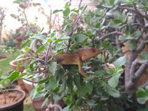 Hidden chameleon royalty free stock photos