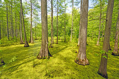 Hidden Cypress Forest on a Sunny Day Stock Images