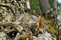Hidden danger: a camouflaged wolf. Hidden danger: a wolf curled up in rocks and trees camouflaged well by his tan colored fur Royalty Free Stock Photography