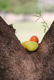 Hidden Easter eggs. Plastic easter eggs hidden in a tree Royalty Free Stock Photo