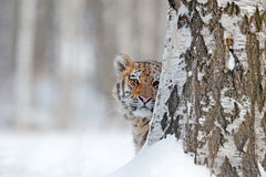 Hidden face portrait of tigre. Tiger in wild winter nature.  Amur tiger running in the snow. Action wildlife scene, danger animal. Royalty Free Stock Photography