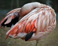 Hidden Flamingo. Pink flamingo in the Bird Park in Foz do Iguaçu hiding the head stock image