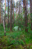 Hidden in forest pitched tent - example of stealth camping Royalty Free Stock Image