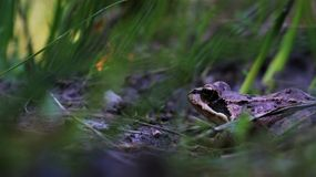 Hidden frog Stock Photography