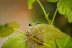 Hidden frog on stem of raspberry Royalty Free Stock Image