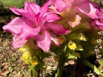 Hidden Ginger Lily. Hidden Ginger Curcuma petiolata flowers in bloom Stock Image