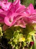 Hidden Ginger Lily Flower closeup. Closeup e view of Hidden Ginger Lily Curcuma petiolata flowers in bloom Stock Image