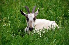 Hidden goat Stock Photos