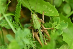 Hidden grasshoppers insects on the grass. Camouflage royalty free stock images