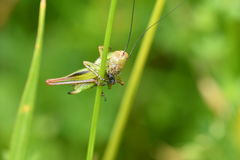 Hidden grasshoppers insects on the grass. Camouflage royalty free stock photos