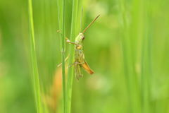 Free Hidden Grasshoppers Insects On The Grass Stock Images - 94147714