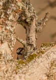 Hidden Great Spotted Woodpecker Royalty Free Stock Image