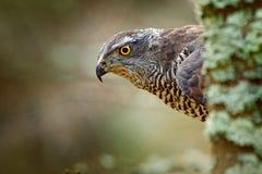 Hidden head portrait of goshawk. Detail of bird of prey Goshawk. Bird hawk sitting on the branch in the fallen larch forest during. Autumn royalty free stock photos