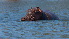 Hidden hippo Royalty Free Stock Image