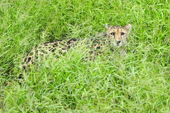A hidden hunter. A hunting cheetah hiding in the vegetation Royalty Free Stock Images
