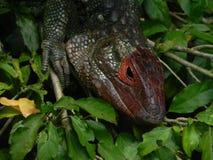 Iguana hidding face royalty free stock photos