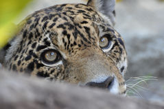 Hidden Jaguar. This is a photo of a jaguar cub peeking between two tree branches Royalty Free Stock Images