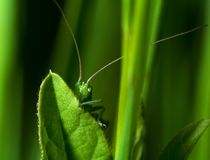 Hidden katydid Royalty Free Stock Photos