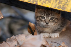 Hidden kitty. Young grey kitten looking carefully from a distance Stock Photos