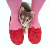 Hidden between the legs. Small Puppy Hidden between girl's legs Stock Photo