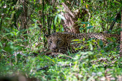 Hidden leopard. Leopard a versatile feline is seen in forest on a sunny day Royalty Free Stock Images