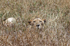 Hidden lion. A hidden lion in the savanna of ngorongoro park in tanzania royalty free stock images