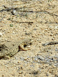 Hidden Lizard. A camouflaged lizard hiding on the desert floor Royalty Free Stock Photography