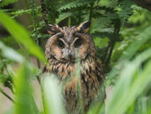 Hidden long-eared owl stock photography