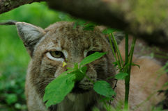 Hidden Lynx Royalty Free Stock Photography