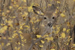 Hidden Mule Deer. Young mule deer hiding in thick brushy undergrowth Royalty Free Stock Photo