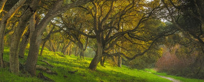 Hidden Oaks. An oak grove illuminates during sunset in Monterey Bay, California royalty free stock image