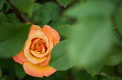 Hidden Orange rose Royalty Free Stock Photography